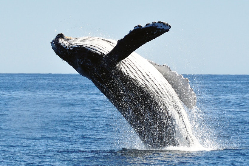 Bumps on their fins lend humpback whales surprising agility, and provide similar benefits for wind turbines.