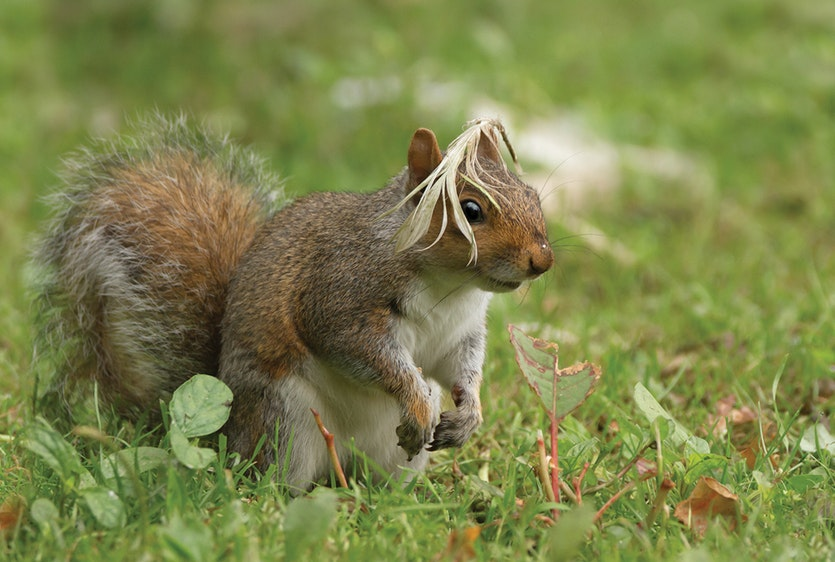 I've got feather ...  |  Grey squirrel (Sciurus carolinensis)  |  Arundel, UK
