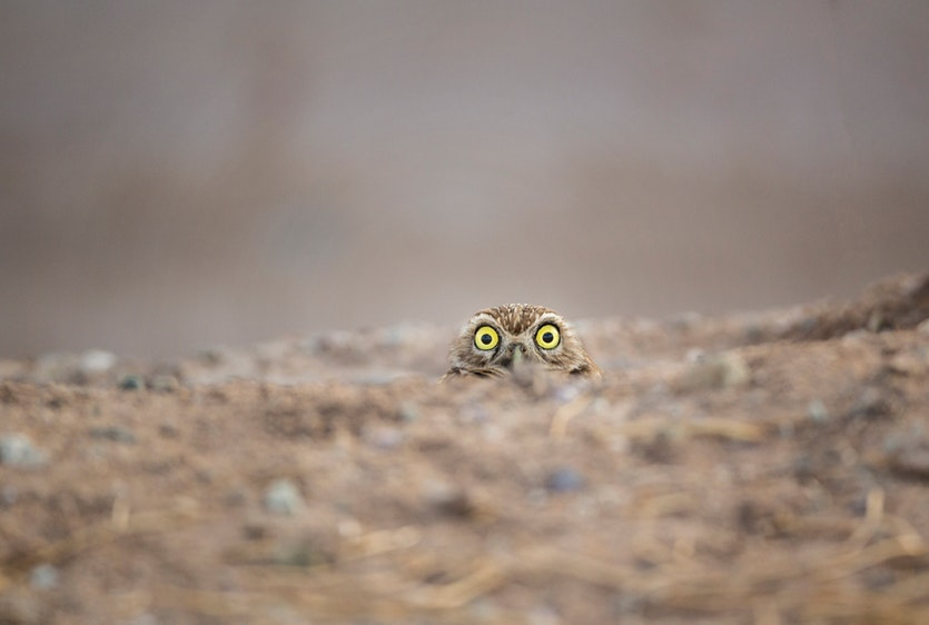 Peek-a-boo!  |  Burrowing owl (Athene cunicularia)  |  Salton Sea, California, USA
