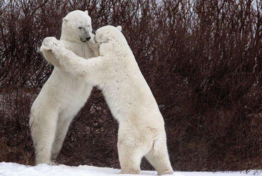 Dances with bears  |  Polar bear (Ursus maritimus)  |  Churchill, Canada