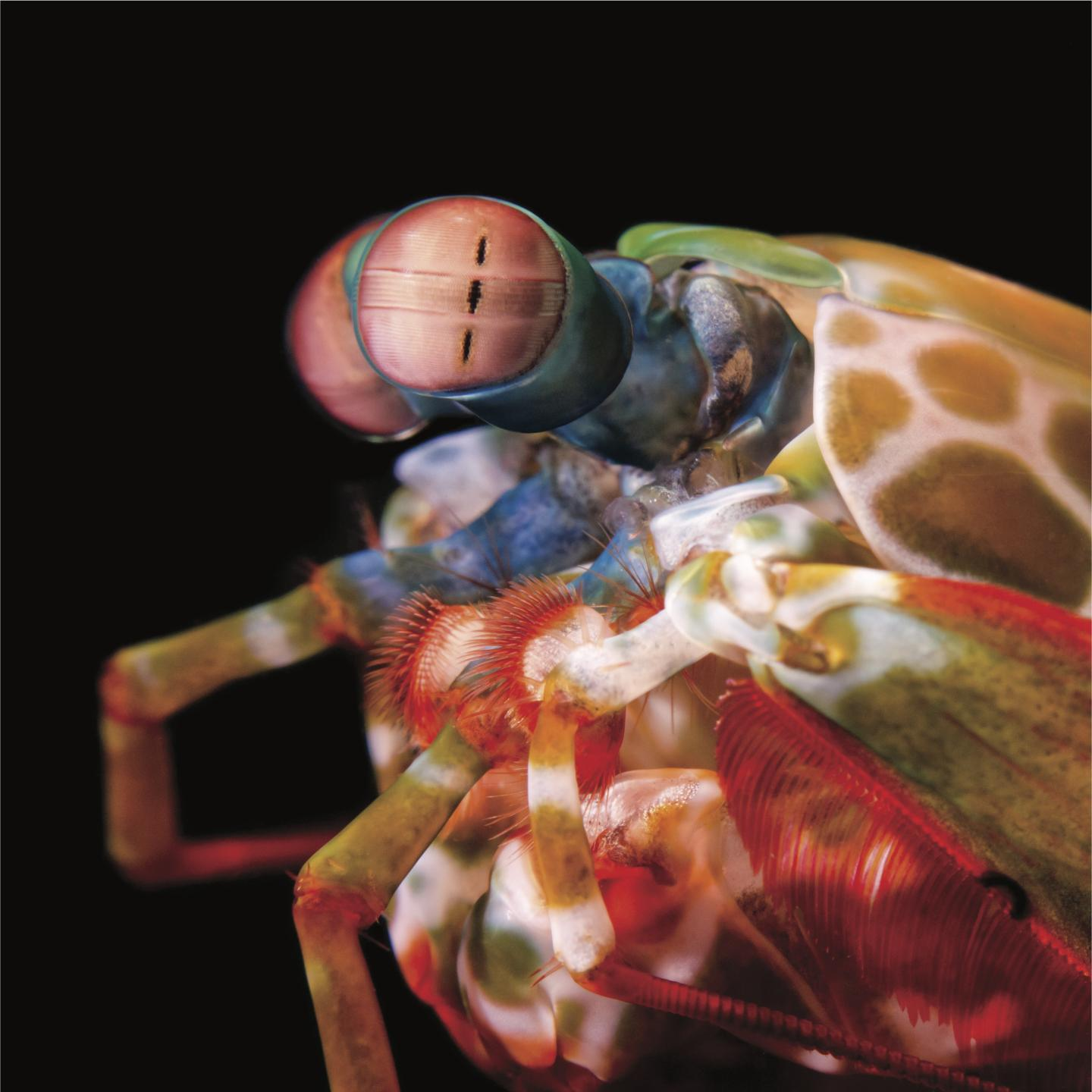 The eyes of the mantis shrimp are capable of independent rotation in all three rotational degrees of freedom.
