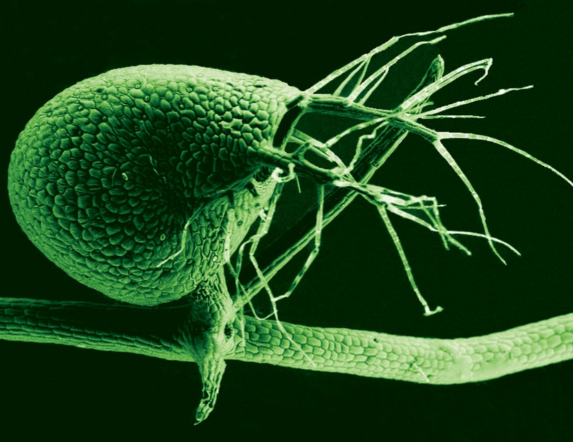 This is a colourised scanning electron micrograph of the bladder of Utricularia gibba, the humped bladderwort plant.