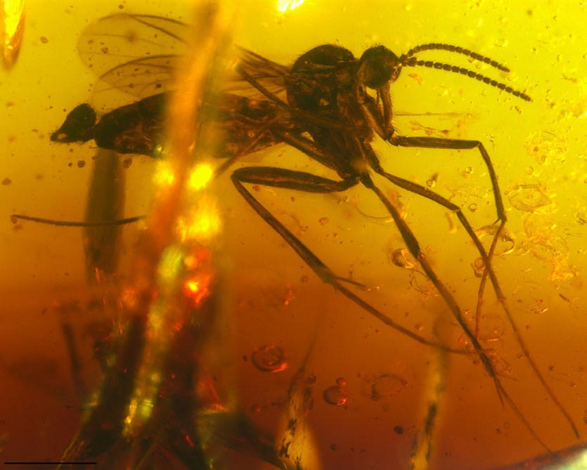 Palaeognoriste orientale, a new species of Lygistorrhinidae in Indian amber, which has its closest relatives in European Baltic amber.
