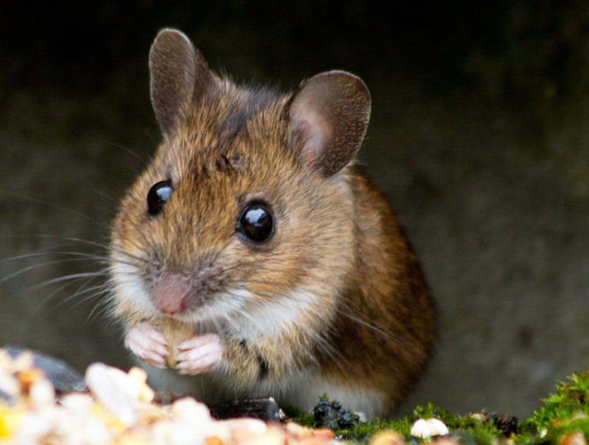 A mouse, free from artificial brain stimulation, following its natural inclination to eat a healthy breakfast.