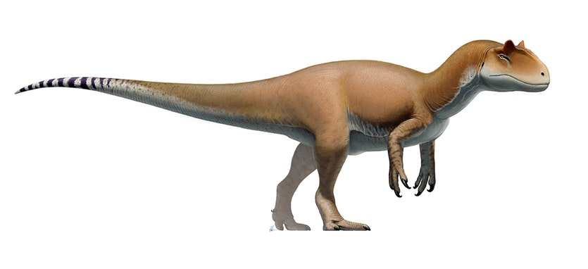 A reconstruction of an Allosaurus.
