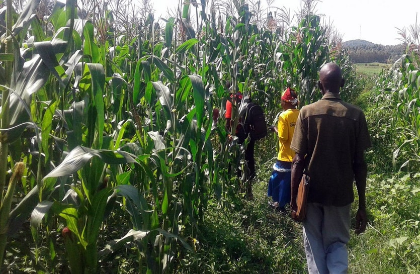 Surveying a maize field in Kenya.