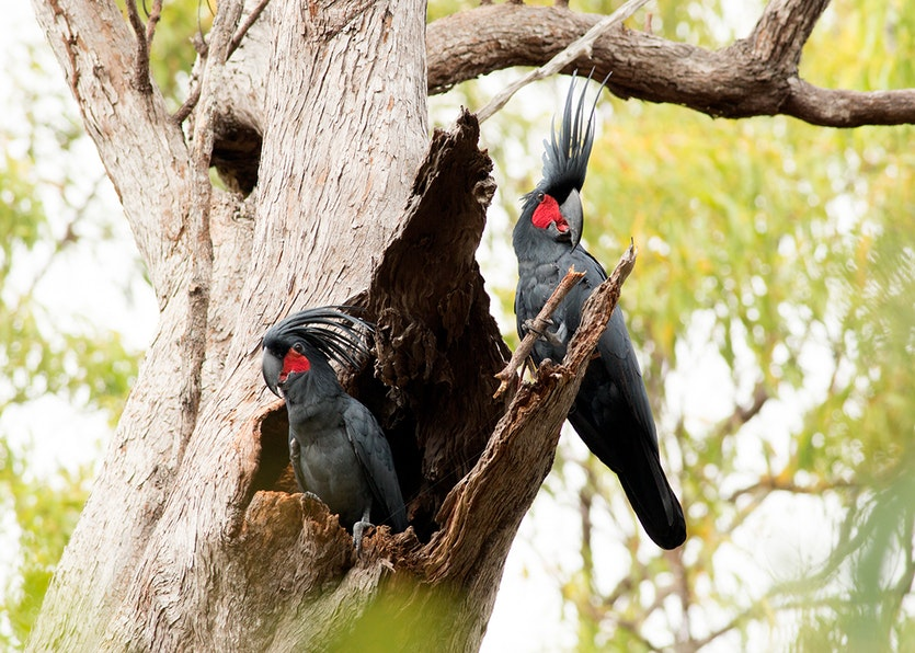 Two male palm cockatoos sitting in a tree.