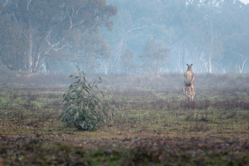 A male Eastern Grey Kangaroo on a misty winter morning near Heathcote, Victoria.