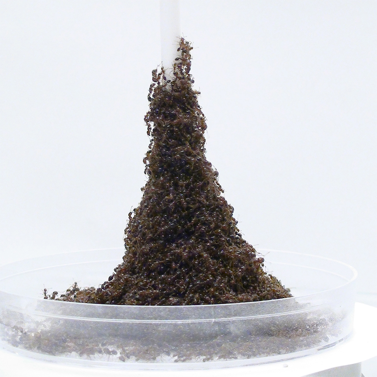 Fire ants building a tower around a pole.
