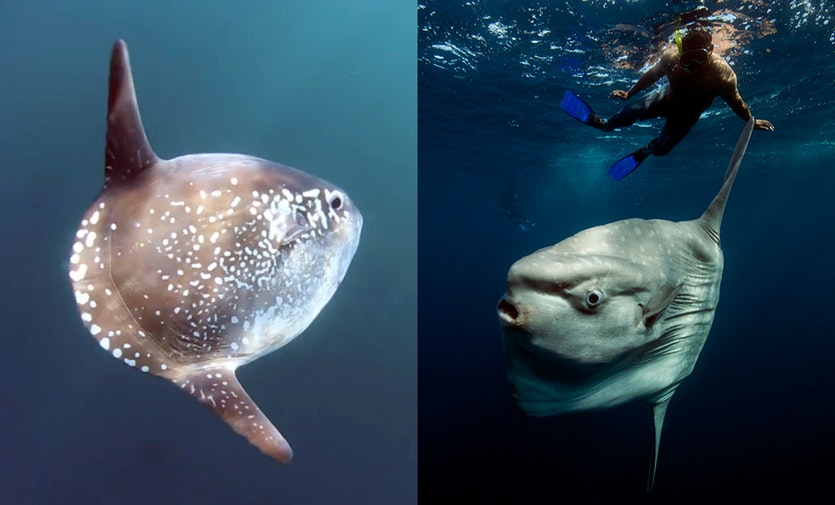 Left: a hoodwinker sunfish (Mola tecta). Right: an ocean sunfish (Mola mola).