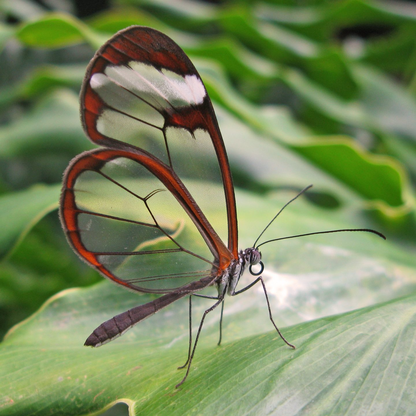 the glass-winged butterfly.