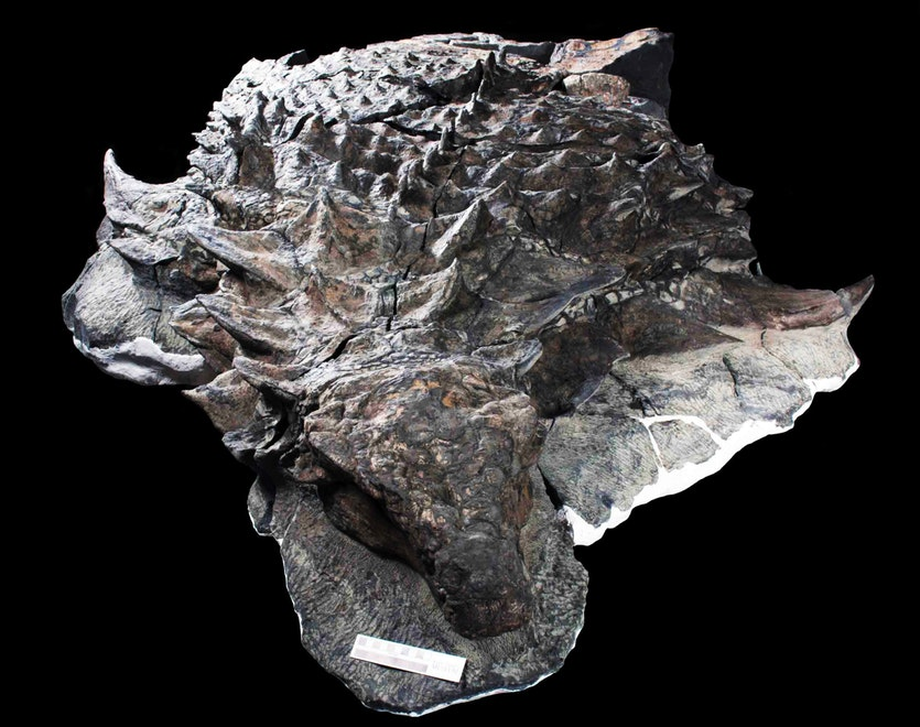 Another view of the Borealopelta markmitchelli fossil.