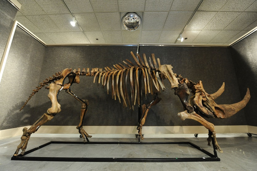 The skeleton of a wooly rhinoceros.