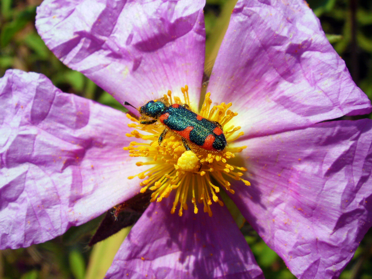 A beetle sits on a flower of phrygana (Cistus creticus).
