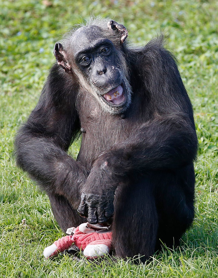 Once unfashionable, the idea that chimps have personalities has been confirmed.