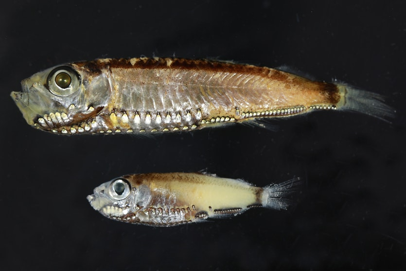 Deep sea pearlsides (Maurolicus muelleri) have unique adaptations to their low-lit environments.