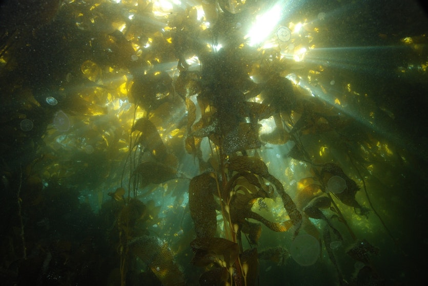 Giant kelp in the Murray Channel of Chile.
