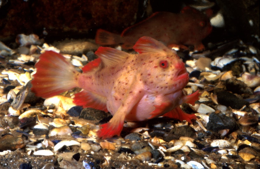 The red handfish (Thymichthys politus), one of the most endangered species in Australian waters.