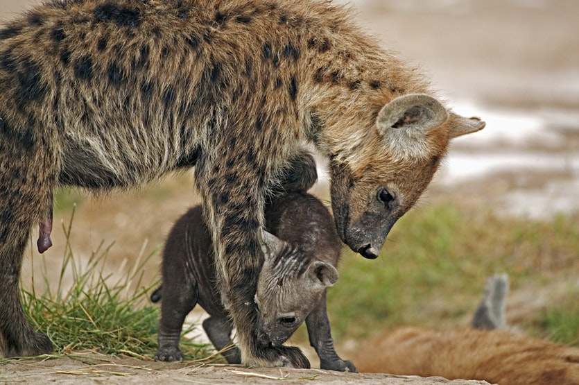 While it may be hard to spot the females in a pack of spotted hyenas, they certainly stand out from the females of other hyena species.