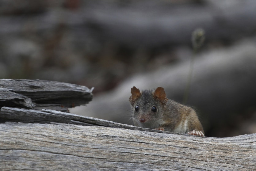 Reproductive success for the male antechinus depends on one frantic binge lasting up to 14 hours a day for two to three weeks.