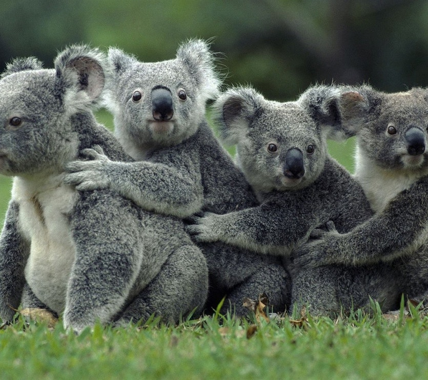Koalas and other marsupials have bifurcated sexual organs.