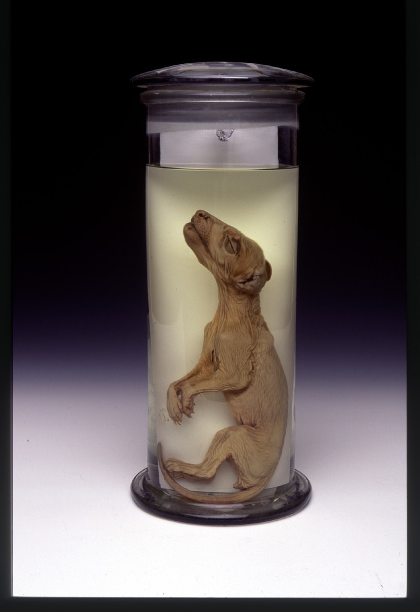 A thylacine pup preserved in ethanol, part of the collection held by the Tasmanian Museum and Art Gallery.