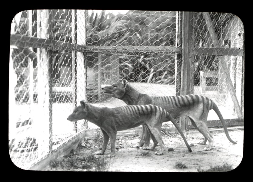 Thylacines photographed at the Beaumaris Point Zoo, Hobart.