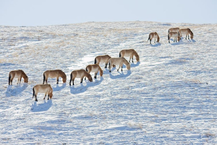 Back where they belong: Przewalski's horses in the Mongolian wilderness.