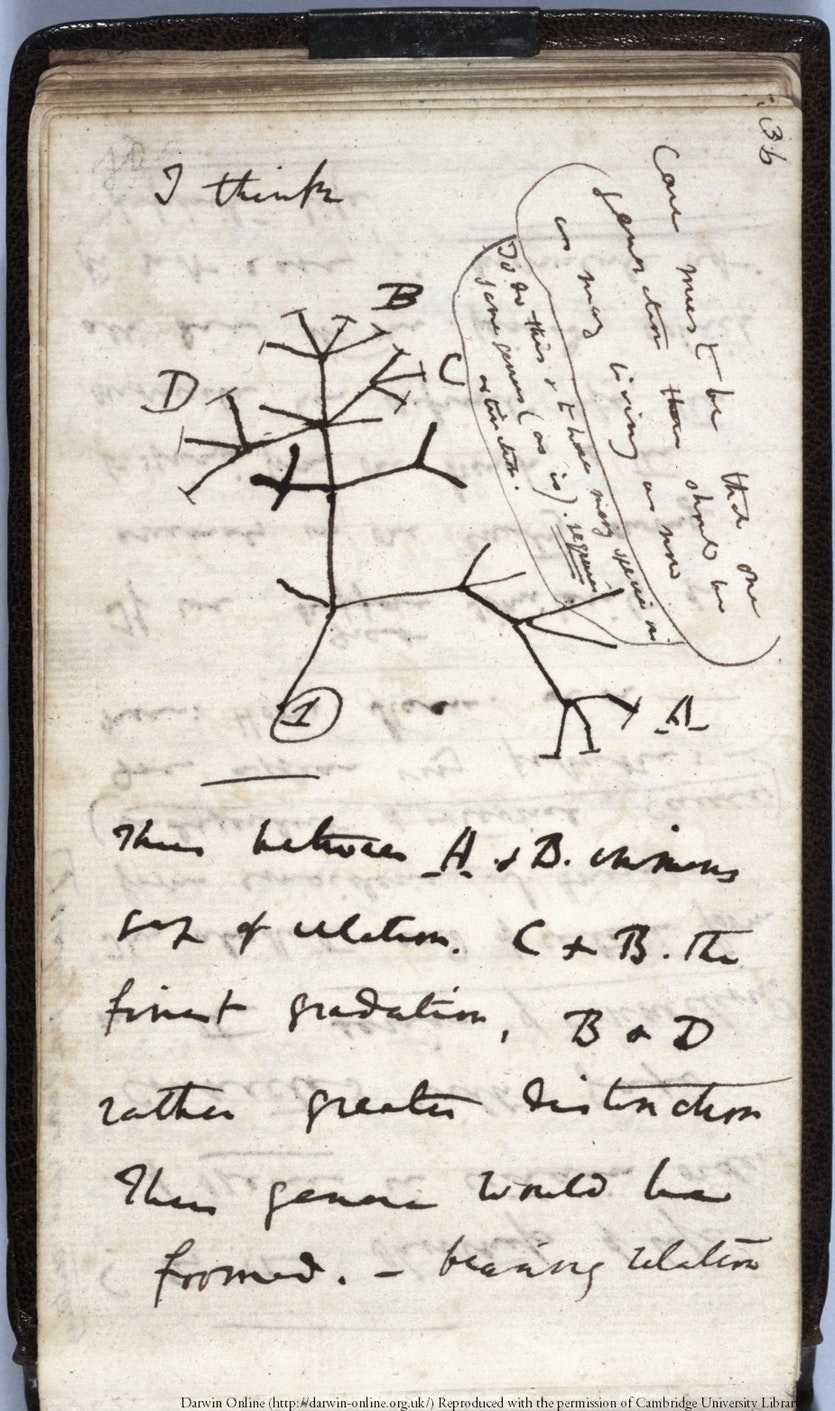 Darwin's first sketch showing his idea for an evolutionary tree.