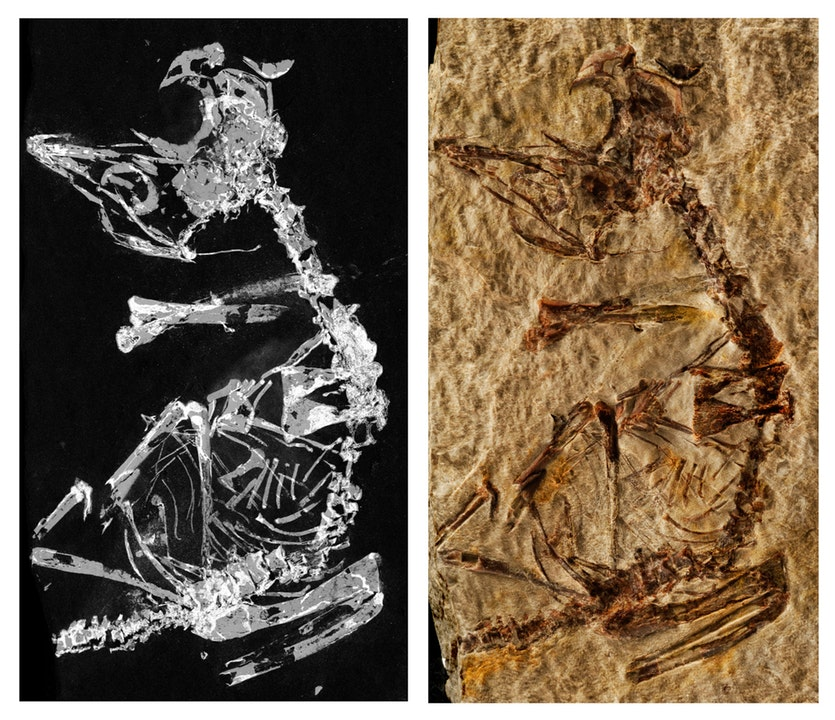 The fossil hatchling shown in a photograph and through the process known as phosphorous mapping.