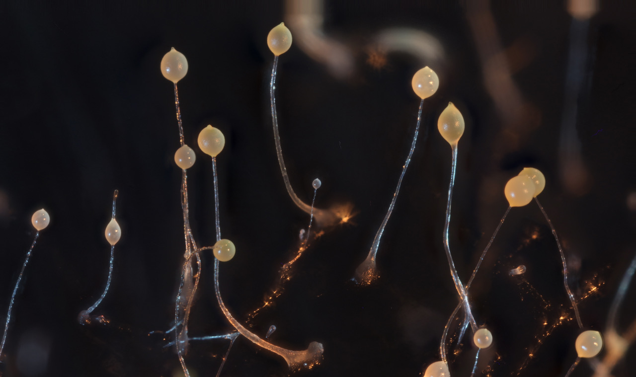 Showing the stalk made up of cells that died to lift the spores to facilitate their transport by insects.