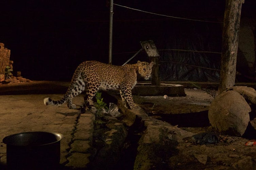 Leopards in the city help reduce the stray dog numbers.
