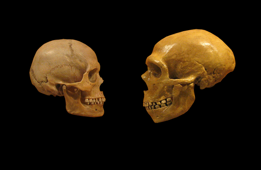 A comparison between a modern human skull (left) and a Neanderthal.