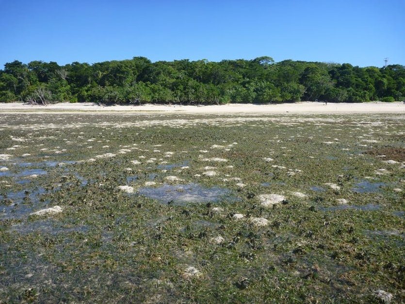 Green Island seagrass meadow exposed at low tide.