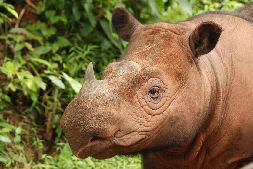 The Sumatran Rhino, the most primitive rhino species, is a denizen of dense rainforests.
