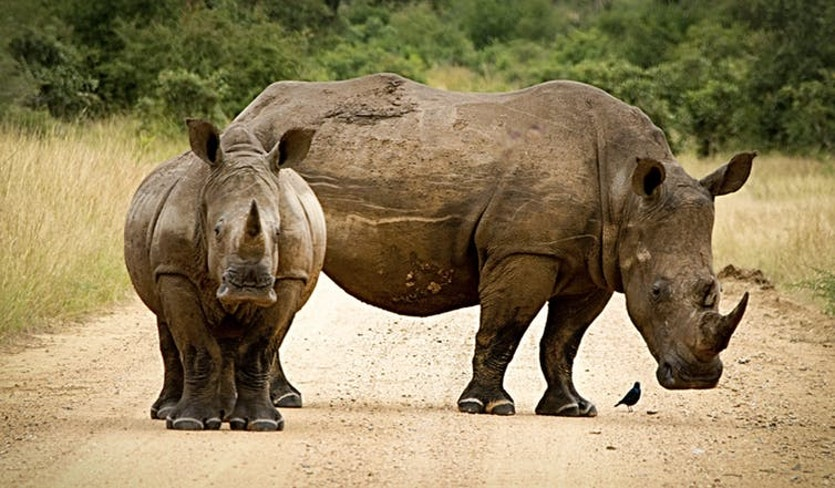 Proliferating roads are slicing into rhino habitats, increasing access for poachers.