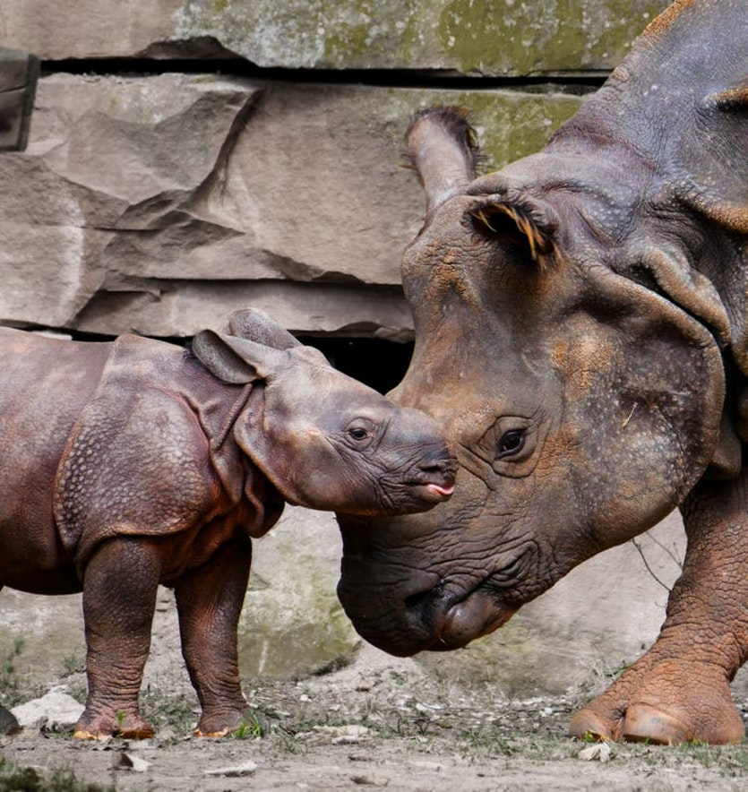 Captive breeding might be the last chance for some rhino species.