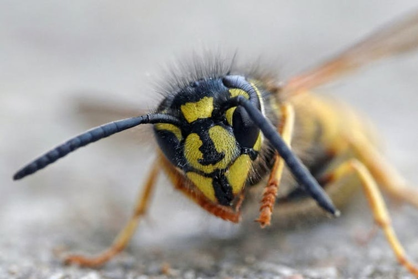 Yes, they're annoying at picnics – but European wasp brains are capable of face recognition.