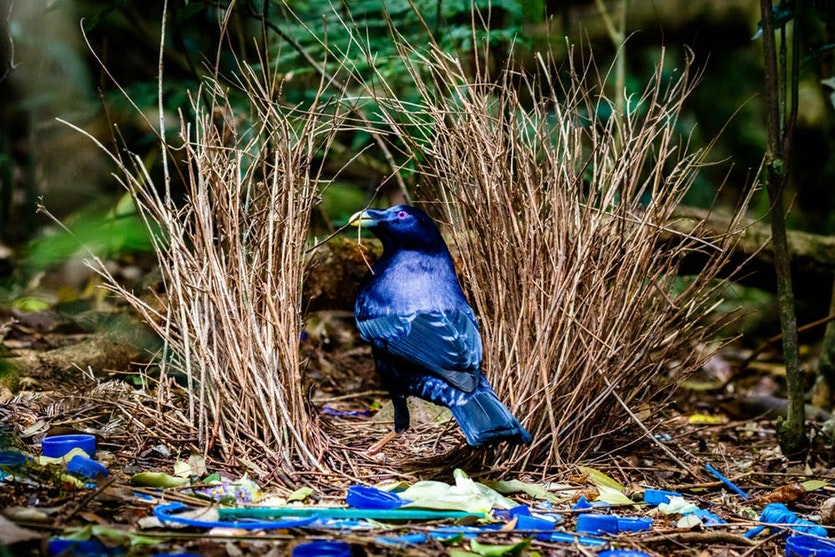 The satin bowerbird collects blue objects to decorate his bower – but it's not symbolic behaviour.