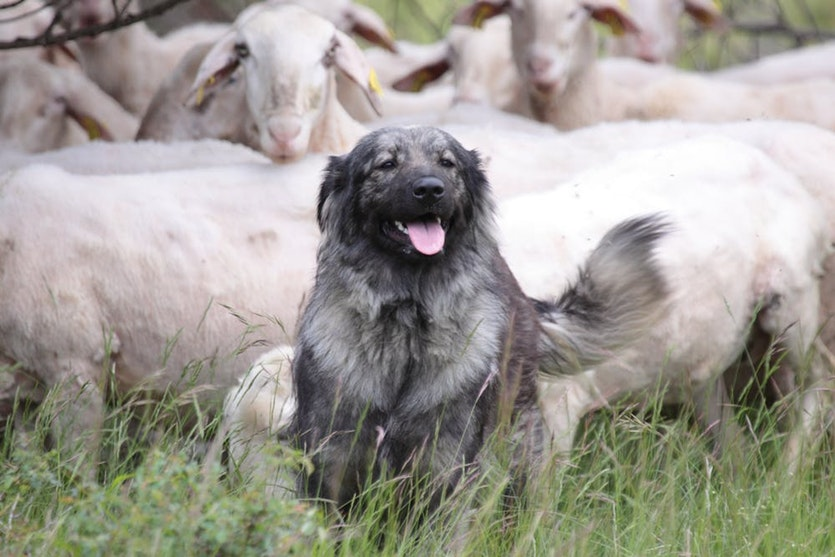 Karst Shepherds are commonly used in Europe to protect livestock. This Karst Shepherd was donated to farmers as part of the LIFE SloWolf project in Slovenia.