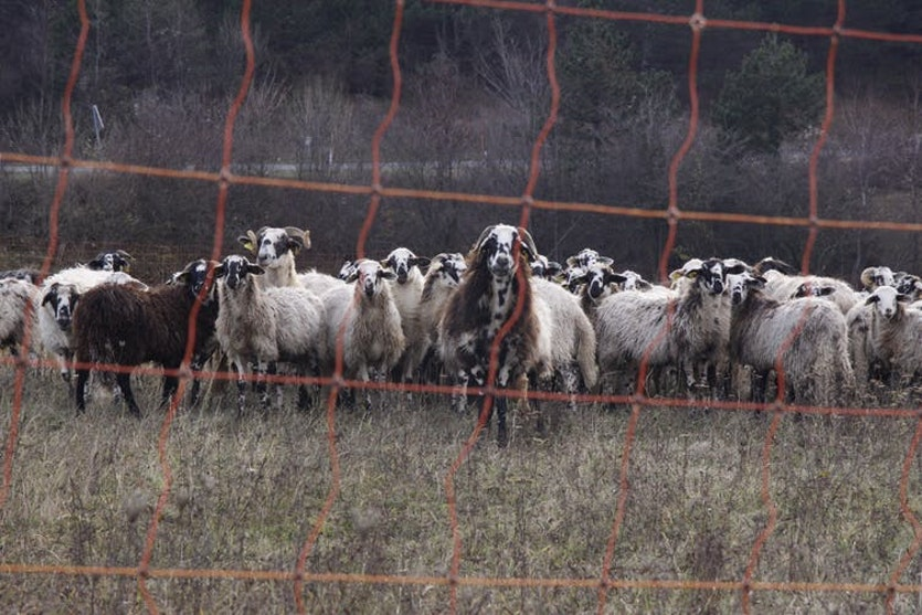 An electric fence can be an effective deterrent to prevent predators from entering a pasture.