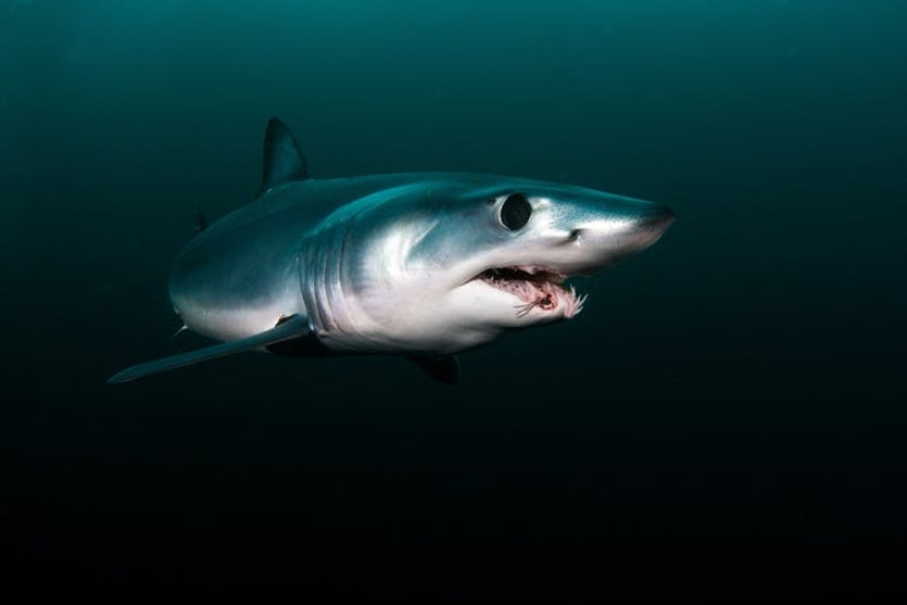Sharks have a directional sense of smell.