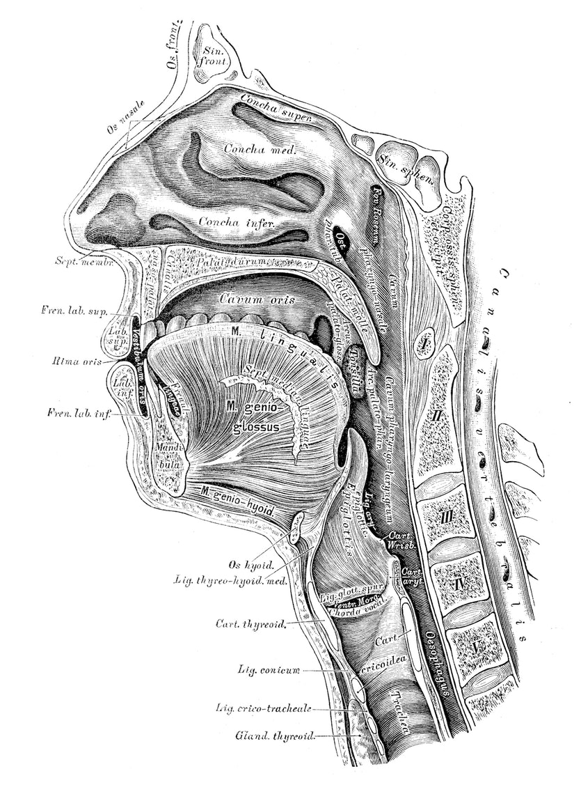 This anatomical illustration only hints at the extraordinary complexity of what goes on inside a nose.