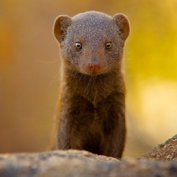 Trust a mongoose in times of trouble - Cosmos Magazine