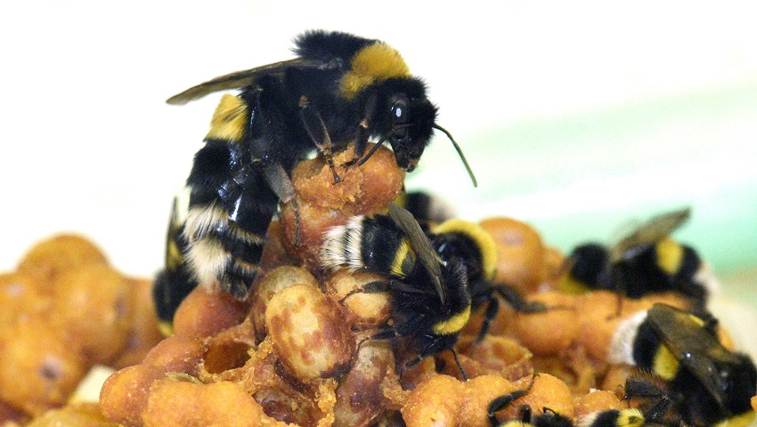 A bumblee queen and workers caring for a brood.