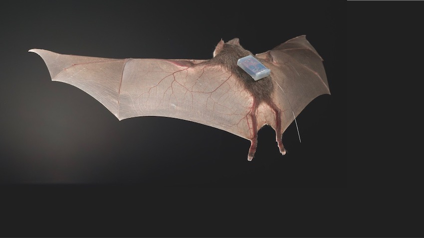 A tagged vampire bat in the wild.