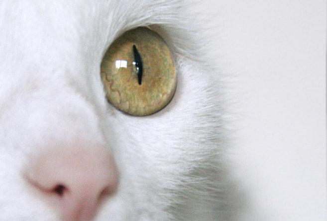 Why Do Cats Have Slit Shaped Eyes Cosmos Magazine
