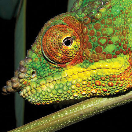 A male panther chameleon (furcifer pardalis) photographed in madagascar.