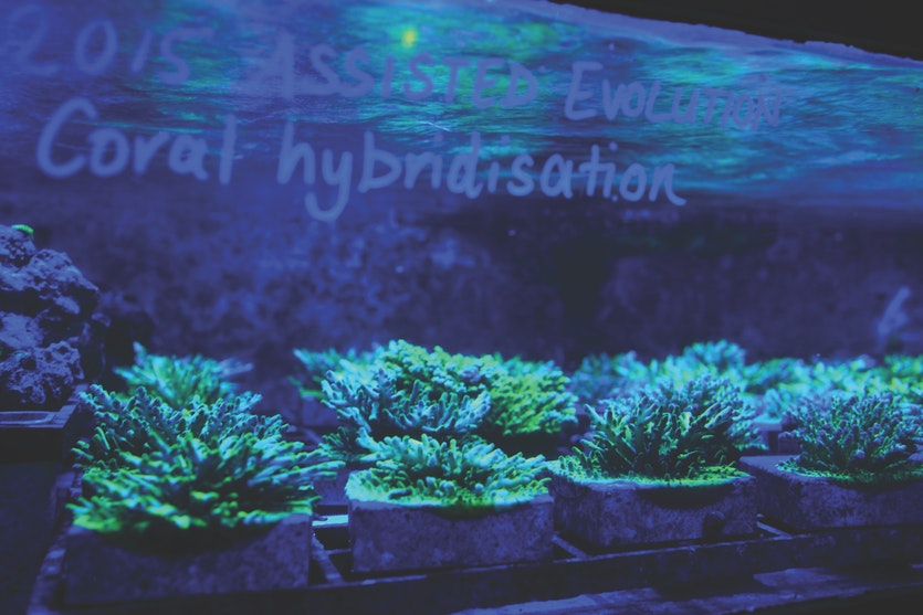 Coral breeding experiments at SeaSim, the world's most sophisticated aquarium.