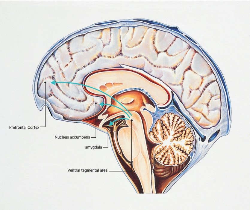 We've long known the brain rewards behaviours like eating or sex via a circuit that involves the pinpoint-sized ventral tegmental area (VTA) interacting withthe nucleus accumbens, the amygdala and the prefrontal cortex. Now it appears the VTA rewards sociability too. In mice, when neurons in the VTA are turned off, autistic behaviour is turned on.